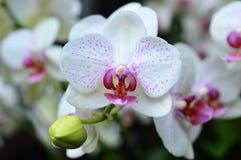 White Dove Orchid Stock Photo