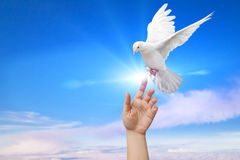 White Dove. Out of the hand on blue sky royalty free stock photography