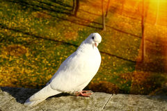 White dove in park Stock Images