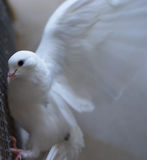 White dove - peace. A white fantail dove flapping - symbol of peace. Plenty of room for copy. Motion blurred