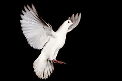 White dove of peace flying on a black background Stock Photography