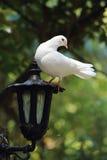 White Dove perches on Lantern. A white dove perches on an iron lantern Royalty Free Stock Image