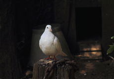 White Dove. Perches on a tree stump stock images