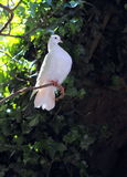 White Dove Perching. Side profile of a white dove perched in a tree royalty free stock images