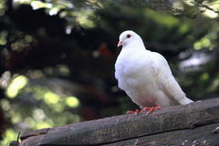 White Dove Perching. Side profile of a white dove perched in a tree Stock Photo