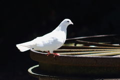 White dove perching. Taken in New Zealand Stock Image