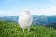 White dove or pigeon stock photo