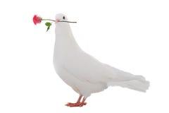 White  dove Royalty Free Stock Photo
