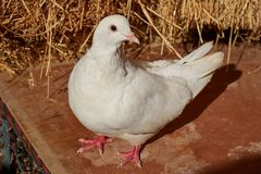 White dove posing. Close to the straw royalty free stock image