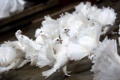 White Dove Releases Stock Photos