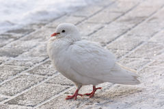 White dove on the road. The photo depicts a white dove on the road Stock Images
