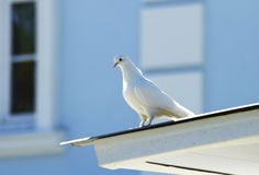 White dove on the roof Stock Image
