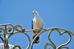 White dove seating on the forged heart sighn Royalty Free Stock Photography