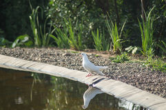 White dove on the shore Stock Images