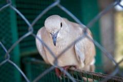 The white dove Royalty Free Stock Photos