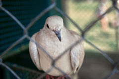 The white dove Stock Photo