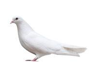 White dove sits isolated Royalty Free Stock Images