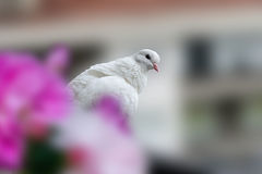 A white dove sitting on  the balcony Stock Images