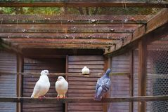 White Dove sitting on branch in zoo. pigeons in a cage. White Dove sitting on a tree branch stock images