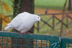 White dove sitting on a fence and tilting his head. stock image