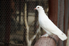 White dove sitting on a fence. White dove is sitting on a wooden fence Stock Photos