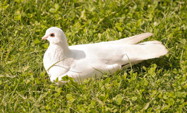 White dove sitting in the grass Royalty Free Stock Photography