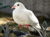 White dove sitting on the metal fence. In park Stock Photos