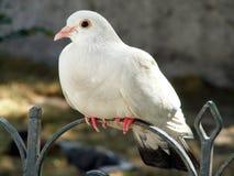 White dove sitting on the metal fence Stock Photos