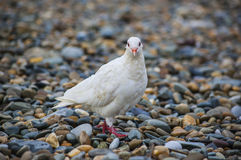 White dove sitting on peeble beach royalty free stock photo
