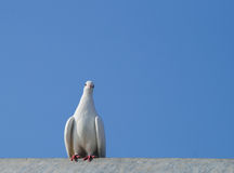 White dove sitting on a roof Stock Image