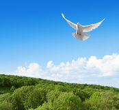 White dove in the sky above forest Royalty Free Stock Photo