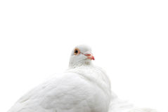 White dove Royalty Free Stock Photo