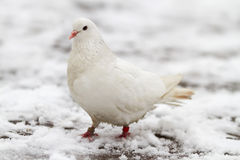 White dove on a snow Stock Image