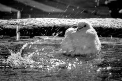 White dove. And splash water in a fountain royalty free stock photos
