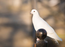 White dove standing and looking. Warm blurred background Royalty Free Stock Photo