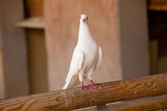 White dove. Standing on a piece of wood Stock Photos