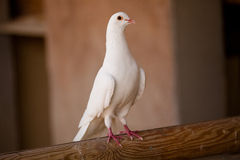 White dove. Standing on a piece of wood Stock Photography