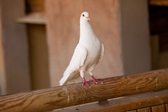 White dove. Standing on a piece of wood Stock Photo