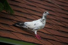 White dove on the roof. royalty free stock photography