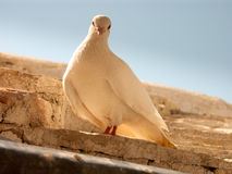 White dove. On stone roof royalty free stock photography