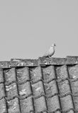 White dove in sunlight sitting on rooftop Stock Photography