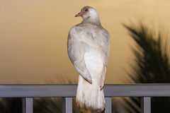 White dove at sunset on rail Royalty Free Stock Image
