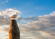 White dove and sunset Stock Images