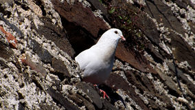White dove on the wall Royalty Free Stock Images