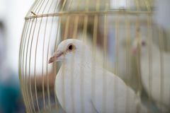 White dove. Wedding dove, dove in a cage Royalty Free Stock Image