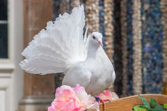 White dove - wedding. White dove with a rose on a wooden cage during a wedding Royalty Free Stock Image