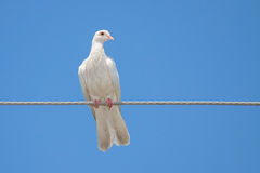 White Dove on a Wire Stock Images