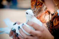 White dove in woman's hands. Woman holding white dove in her arms stock image