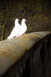 White Doves. A pair of white doves settled on a stone wall Royalty Free Stock Images
