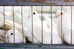 White doves. In a cage Stock Photo